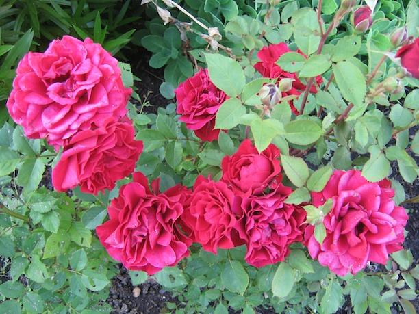 hals roses