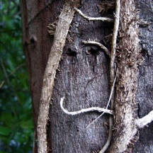 1 VINEY TREE SMILEY